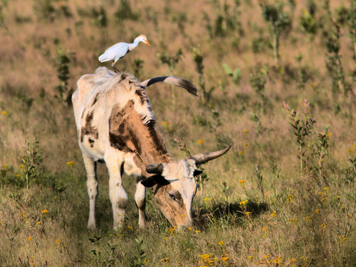 Cattle Egret on steer 20170304
