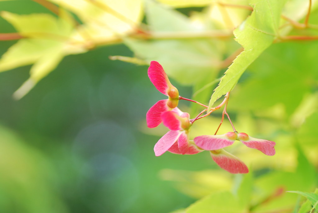Maple Seed 2 | I didn't know that maple have flowers and see