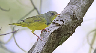 Mourning Warbler | by Ryan Schain