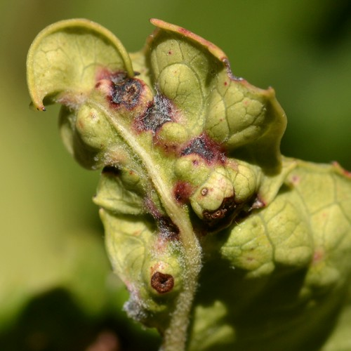 how to get rid of leaf galls