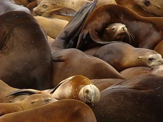 008 Zeeleeuwen bij Pier 39