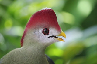 Red Crested Turaco 3 | by Frostdragon