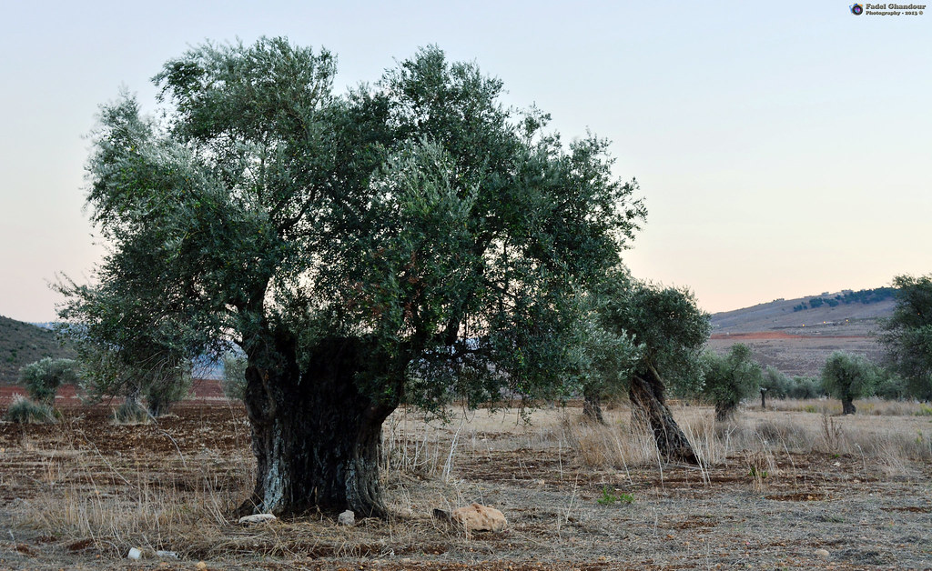 Olive Tree Symbol Of Immortal Peace Photo Taken By Fadel Flickr