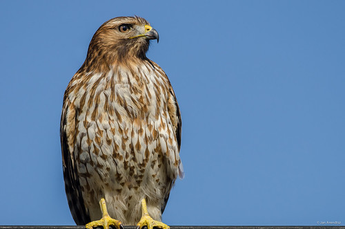 Red-shouldered Hawk | by madrones