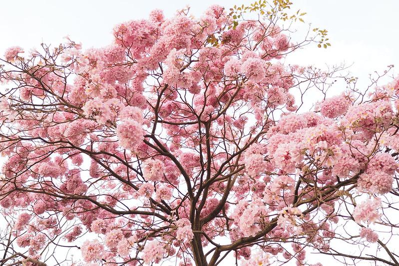 紫花風鈴木|嘉義記事