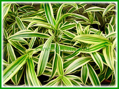 Dracaena reflexa 'Song of India' (Pleomele, Dracaena reflexa variegata, 'Song-of-India', Reflexed Dracaena), 6 Nov 2011
