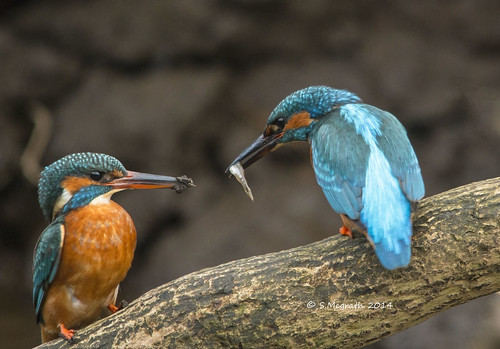 Kingfishers (food pass) | by Steven Mcgrath (Glesgastef)