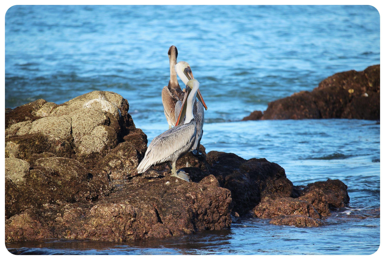sayulita pelicans