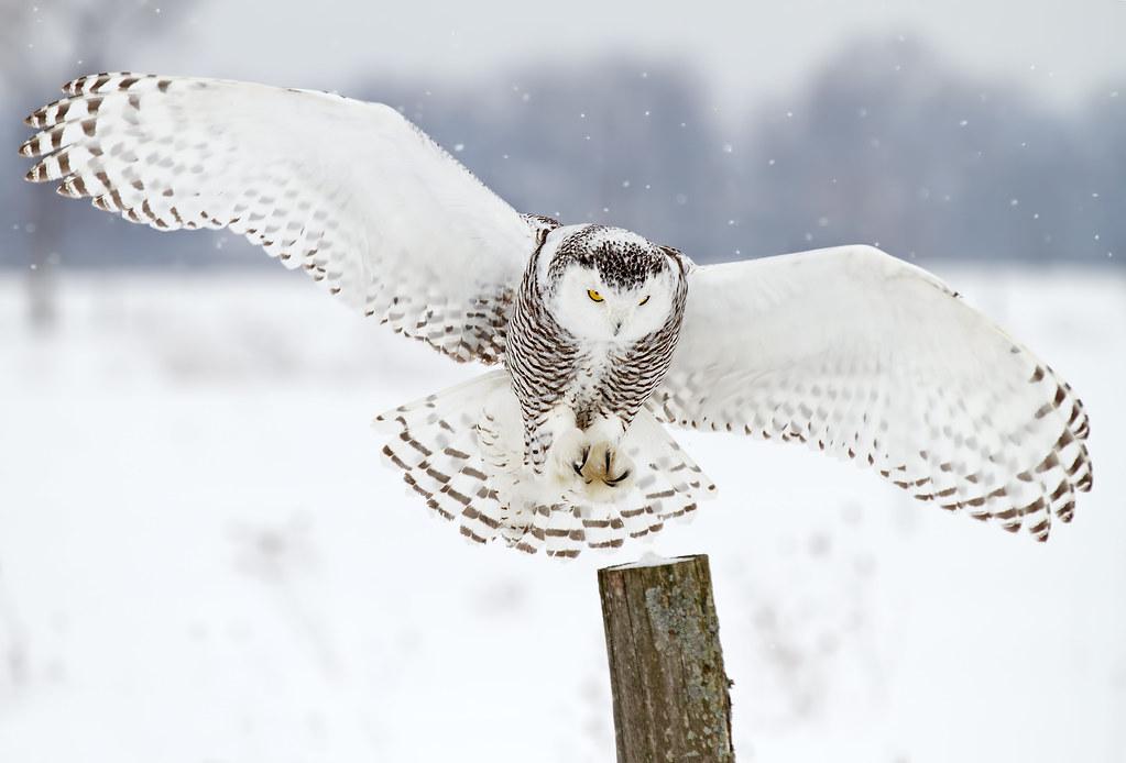 Snowy Owl Landing The Snowy Owl Is A Large Bird Of Prey O Flickr