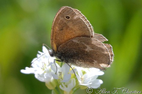 Coenonympha tullia (Common Ringlet)