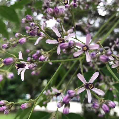 20170330苦楝的花香令人難忘,每年的花季就看一下這紫色小花,一靠近這樹就可以聞得到花香!