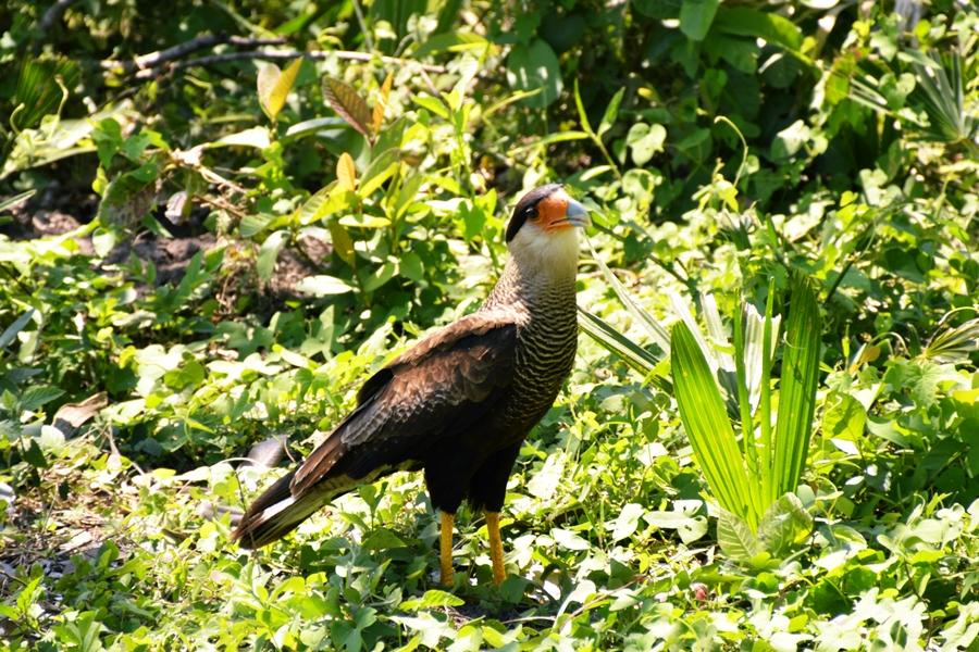 pantanalanimals15