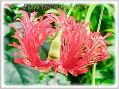 Mesmerizing Hibiscus schizopetalus (Japanese Lantern, Japaneses Hibiscus, Fringed Rosemallow, Coral/Spider Hibiscus), 9 Nov 2011