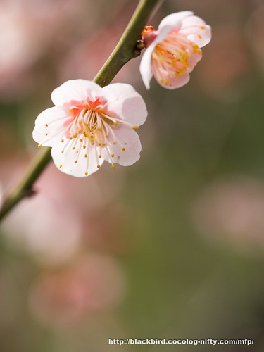 Plum blossoms 20170325 #06