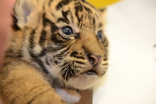 Sumatran Tiger Cubs at the Smithsonian's  National Zoo Receive First Veterinary Exam | by Smithsonian's National Zoo