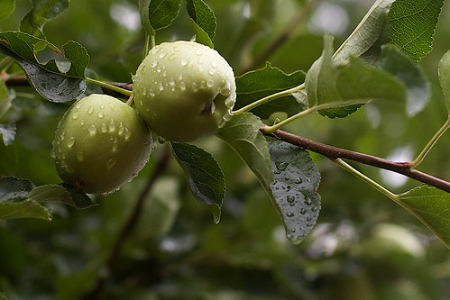 Washed Apples | by cogdogblog