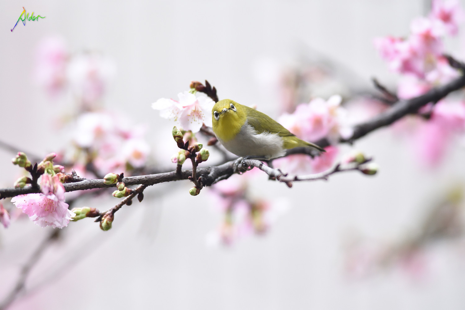 Sakura_White-eye_8588