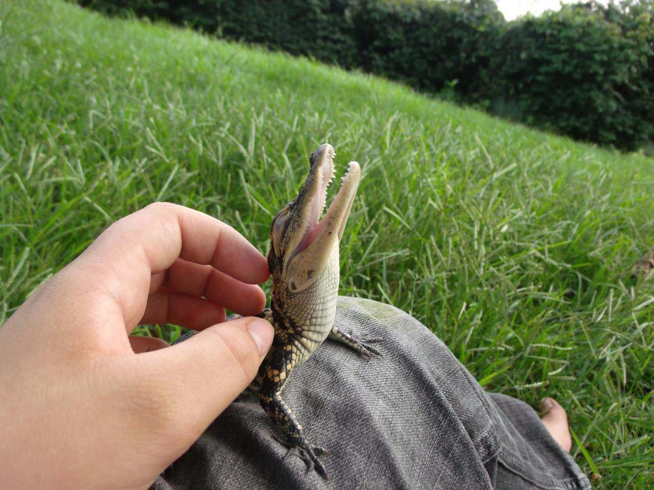 27 Adorable & Tiny Animals That Are Too Cute To Handle #23: Alligator