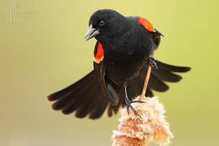 Red-winged Blackbird (Agelaius phoeniceus) | by timjhopwood