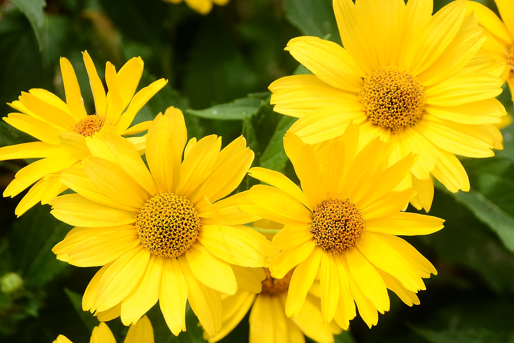 yellow daisies  such pretty, cheerful flowers.  hpaich  flickr, Beautiful flower
