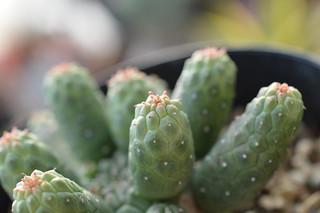 DSC_5562 Euphorbia inermis  ユーフォルビア 九頭竜