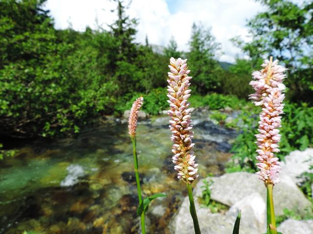 Wildflower Bloom: High Tatras, Slovakia