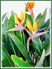 Strelitzia reginae [Crane Flower/Plant, Bird of Paradise, Bird of Paradise flower/plant, Crane-leaved Strelitzia], standing majestically in its exotic beauty, 14 Aug 2014