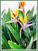 Strelitzia reginae (Crane Flower/Plant, Bird of Paradise, Bird of Paradise flower/plant, Crane-leaved Strelitzia)