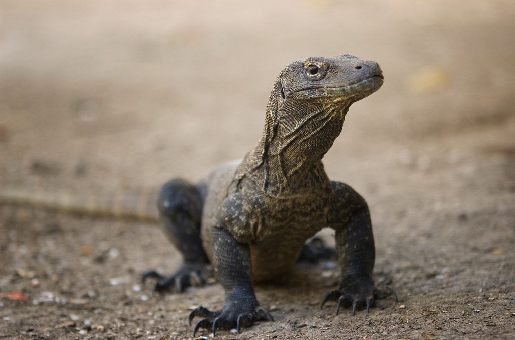 Image result for baby komodo dragon