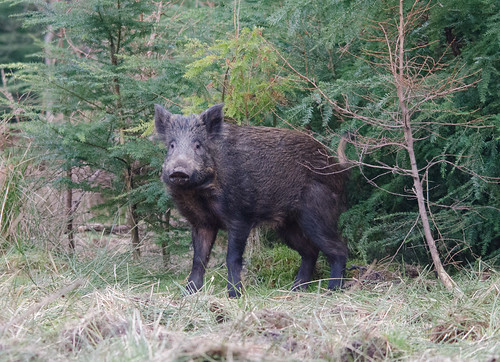 Wild Boar | by markhows