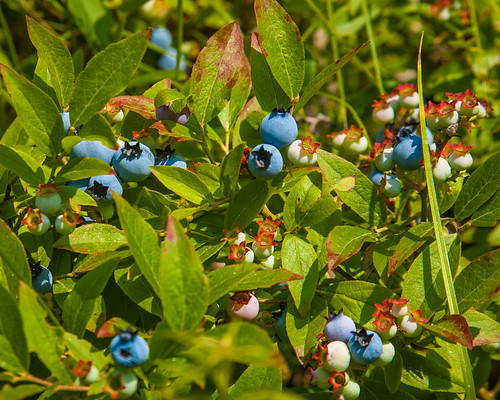 Wild Blueberry Bush While Out For A Run This Morning I
