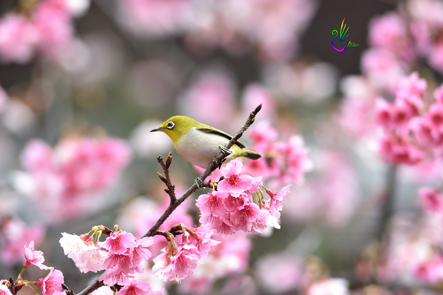 Sakura_White-eye_1126