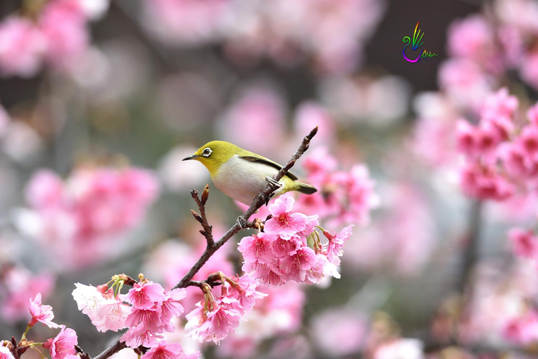 Sakura_White-eye_1126