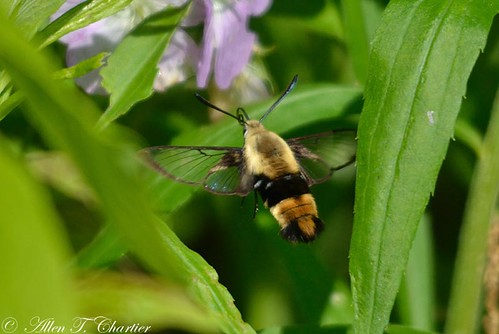 Hemaris diffinis (Snowberry Clearwing)