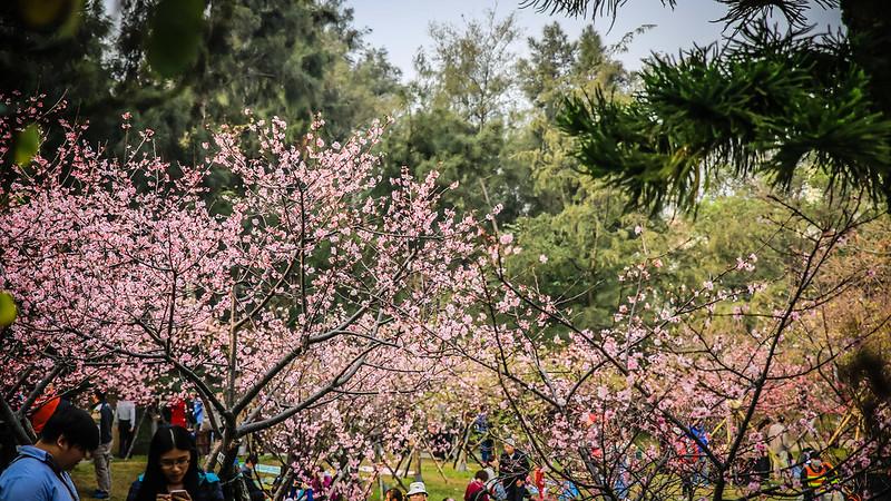 新竹公園的河津櫻