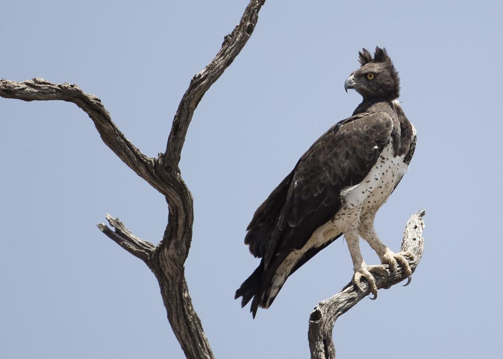 Martial Eagle  PolemaetusBellicosus