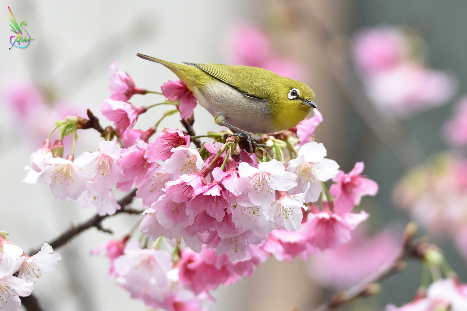 Sakura_White-eye_9985