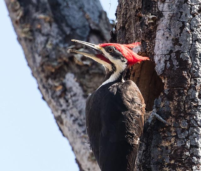 Pileated Woodpecker building nest 098_403
