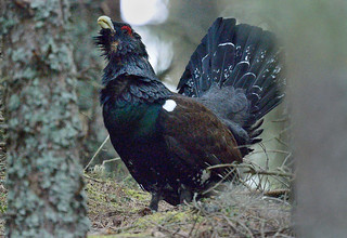 D243088 Western Capercaillie | by Nick Sidle
