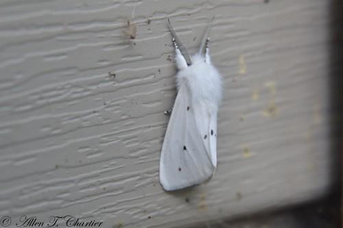 Spilosoma virginica (Virginian Tiger Moth)