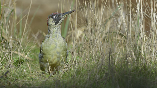 Green Woodpecker | by Full Moon Images