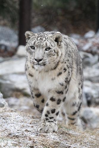 Run Wild Leopard Tennis Shoes