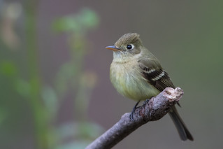 Pacific-slope Flycatcher (X73_6740-1) | by Eric SF