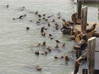040 Zeeleeuwen bij Pier 39