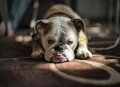 Spike, the world's laziest bulldog. | by Christopher.Michel
