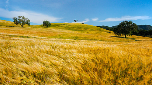 Wheat in the Wind | by Malcolm Carlaw