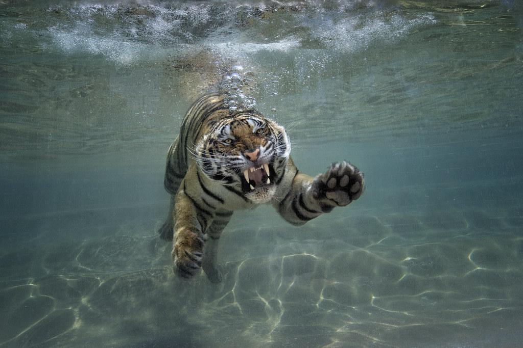 splash zone the san diego zoo safari park s new tiger trai flickr