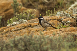 Southern Grey Tit - Sani Pass - Lesotho_S4E7241 | by fveronesi1