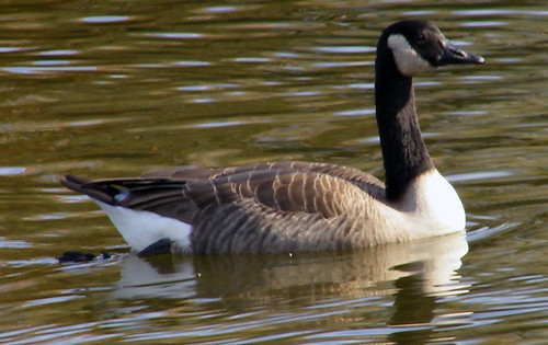 goose2 | by winteridge2