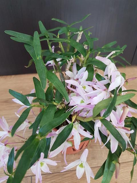 Dendrobium moniliforme 32841927410_2776664b84_z